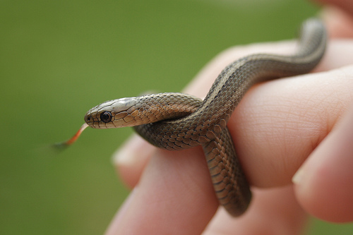 small-garden-snake-0-awesome-design-short-headed-garter-gartersnake-info