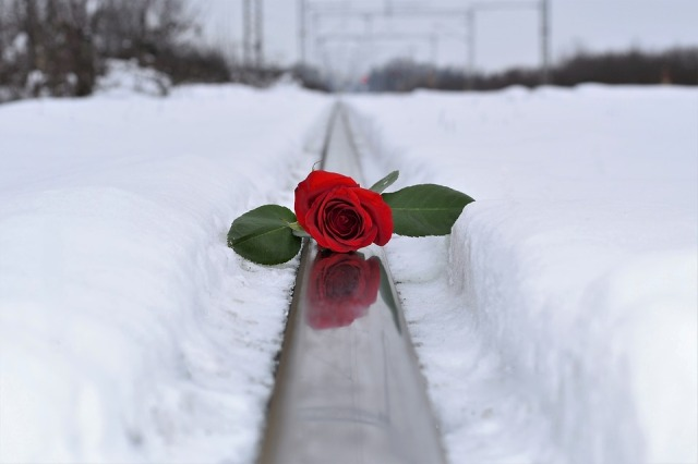 red-rose-in-snow-3273572_960_720