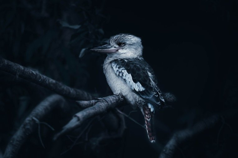 laughing-kookaburra-4913972_1280
